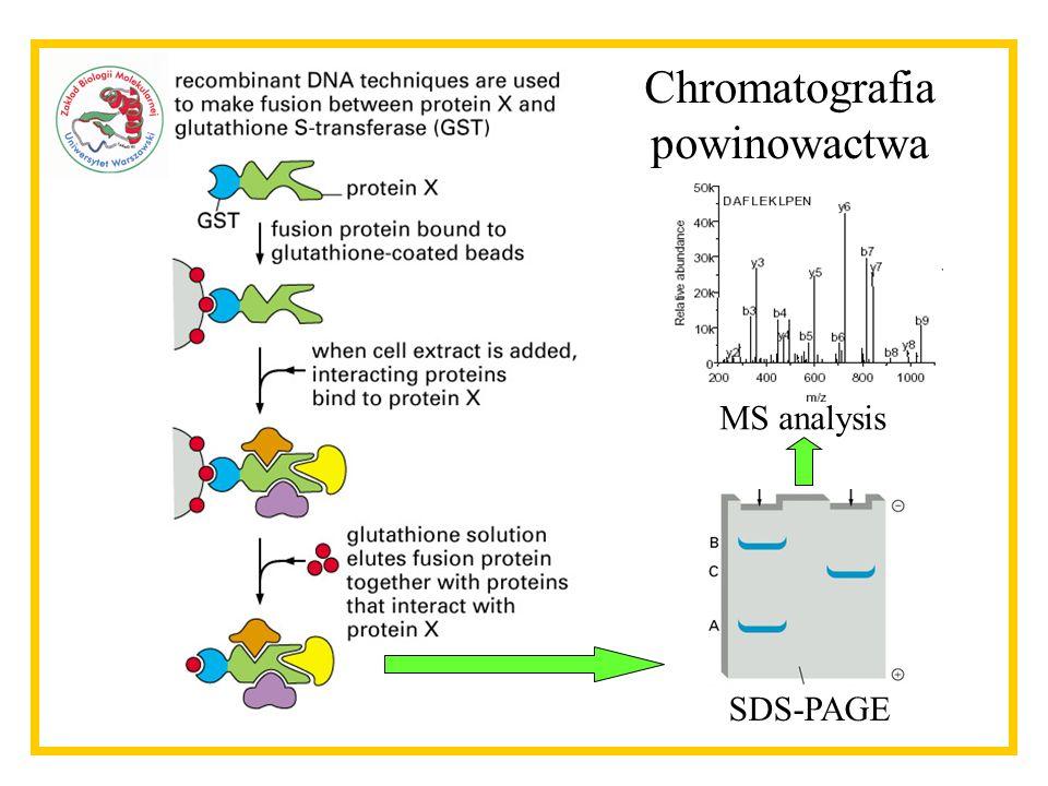 Chromatografia powinowactwa MS analysis SDS-PAGE