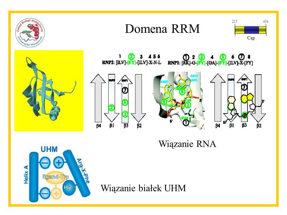 Domena RRM 215 434 Cap Wiązanie RNA Wiązanie białek UHM