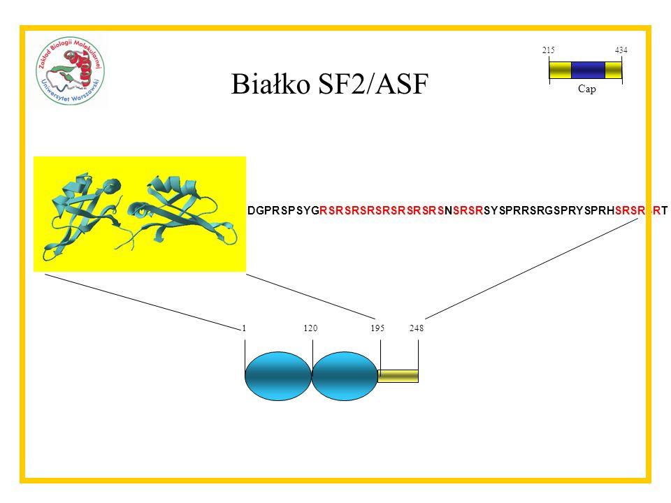 215 434 Cap Białko SF2/ASF DGPRSPSYGRSRSRSRSRSRSRSRSNSRSRSYSPRRSRGSPRYSPRHSRSRSRT 1 120 195 248