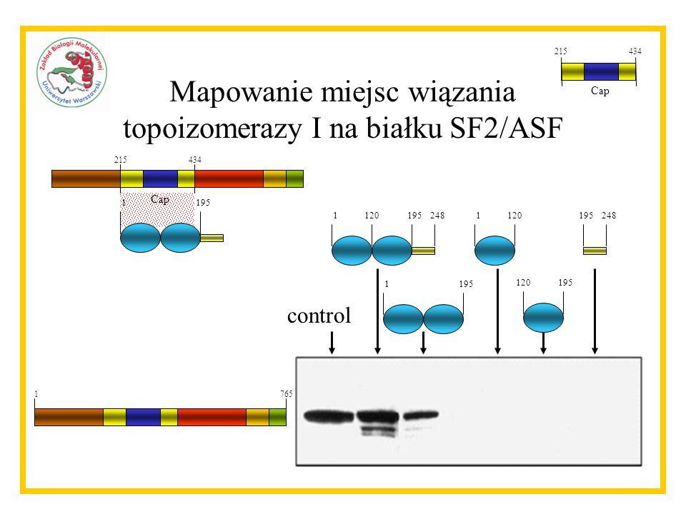 Mapowanie miejsc wiązania topoizomerazy I na białku SF2/ASF