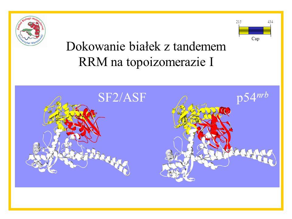 Dokowanie białek z tandemem RRM na topoizomerazie I