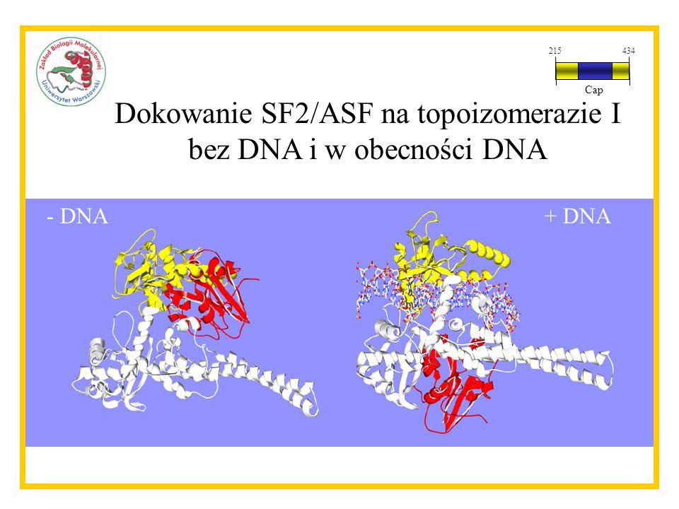 Dokowanie SF2/ASF na topoizomerazie I bez DNA i w obecności DNA