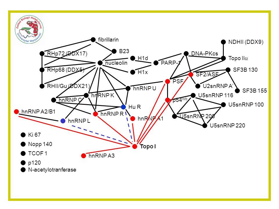 PARP-1 hnRNP A3. nucleolin. fibrillarin. RHp72 (DDX17) RHp68 (DDX5) RHII/Gu (DDX21) hnRNP U. B23.