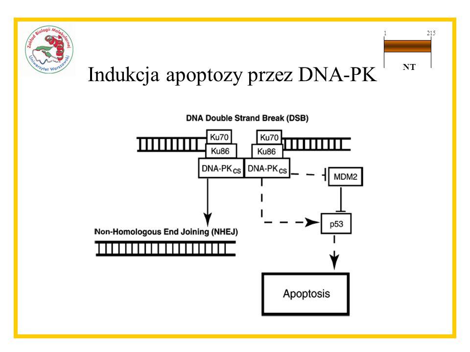 Indukcja apoptozy przez DNA-PK