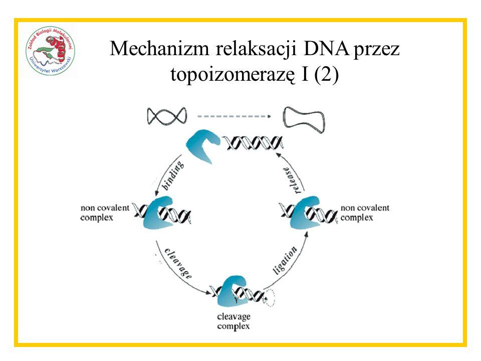 Mechanizm relaksacji DNA przez