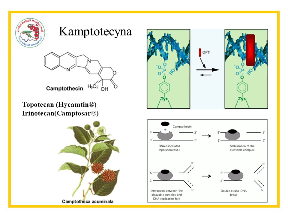 Kamptotecyna Topotecan (Hycamtin®) Irinotecan(Camptosar®)