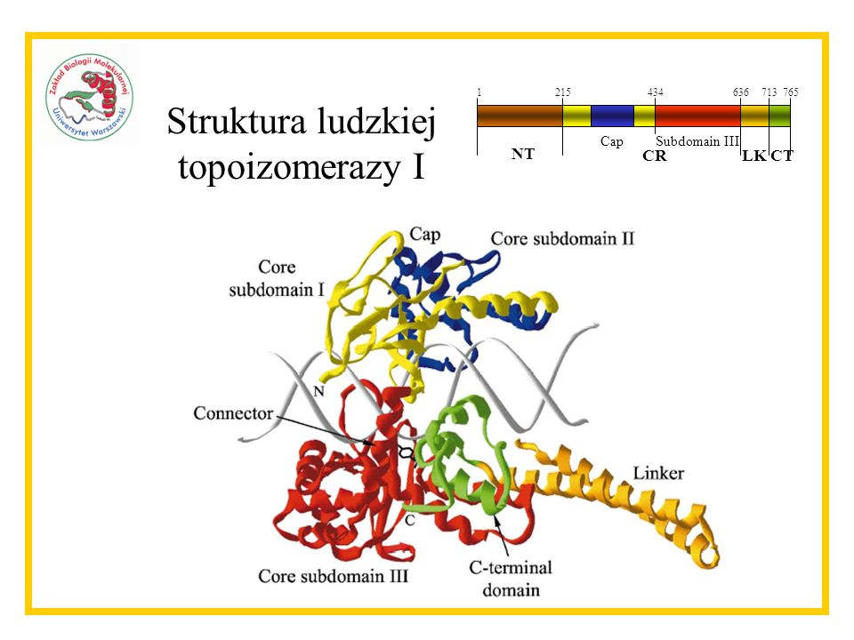 Struktura ludzkiej topoizomerazy I NT CR LK CT Cap Subdomain III 1 215