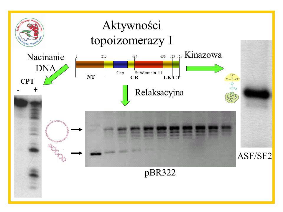 Aktywności topoizomerazy I Kinazowa Nacinanie DNA Relaksacyjna ASF/SF2
