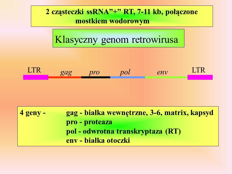 2 cząsteczki ssRNA + RT, 7-11 kb, połączone mostkiem wodorowym