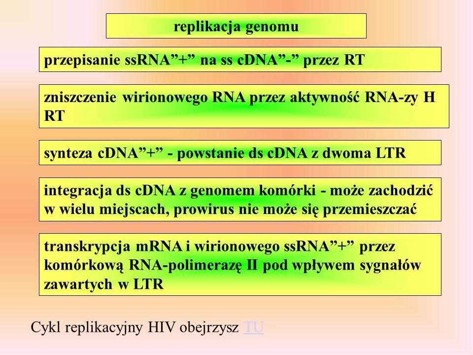 replikacja genomu przepisanie ssRNA + na ss cDNA - przez RT. zniszczenie wirionowego RNA przez aktywność RNA-zy H RT.