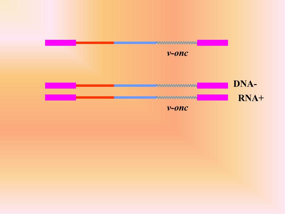 v-onc DNA- RNA+ v-onc