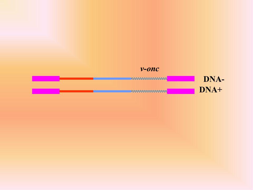v-onc DNA- DNA+