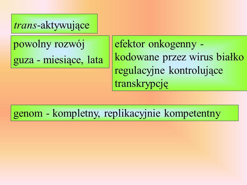 trans-aktywujące powolny rozwój guza - miesiące, lata. efektor onkogenny - kodowane przez wirus białko regulacyjne kontrolujące transkrypcję.