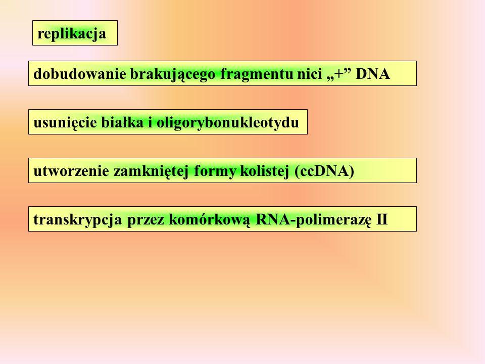 """replikacja dobudowanie brakującego fragmentu nici """"+ DNA. usunięcie białka i oligorybonukleotydu."""