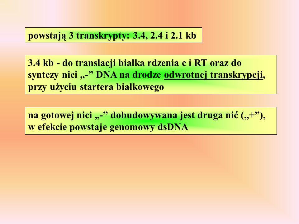 powstają 3 transkrypty: 3.4, 2.4 i 2.1 kb
