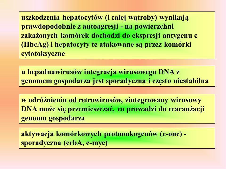 uszkodzenia hepatocytów (i całej wątroby) wynikają prawdopodobnie z autoagresji - na powierzchni zakażonych komórek dochodzi do ekspresji antygenu c (HbcAg) i hepatocyty te atakowane są przez komórki cytotoksyczne