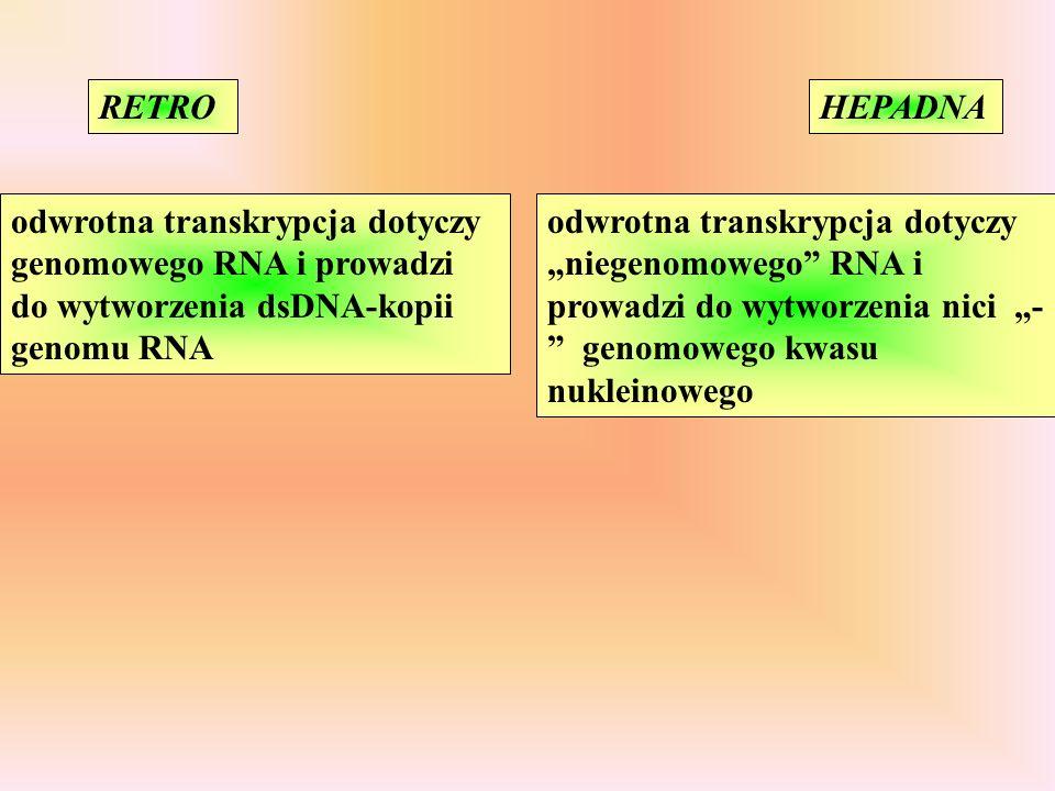 RETRO HEPADNA. odwrotna transkrypcja dotyczy genomowego RNA i prowadzi do wytworzenia dsDNA-kopii genomu RNA.