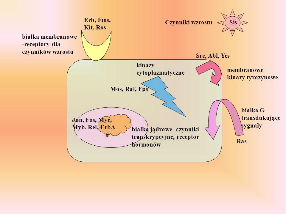 Erb, Fms, Kit, Ros Czynniki wzrostu. Sis. białka membranowe -receptory dla czynników wzrostu. Src, Abl, Yes.