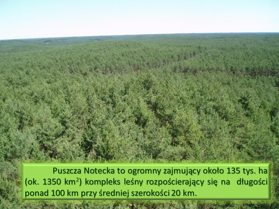 Puszcza Notecka to ogromny zajmujący około 135 tys. ha (ok