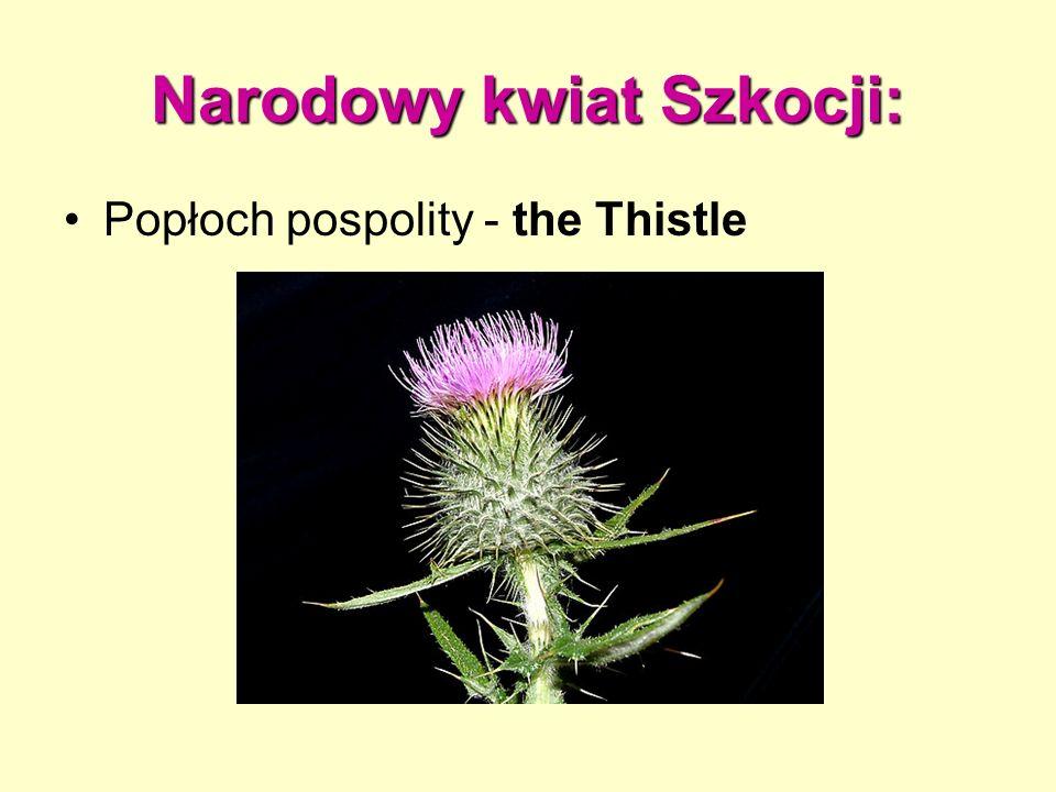 Narodowy kwiat Szkocji: