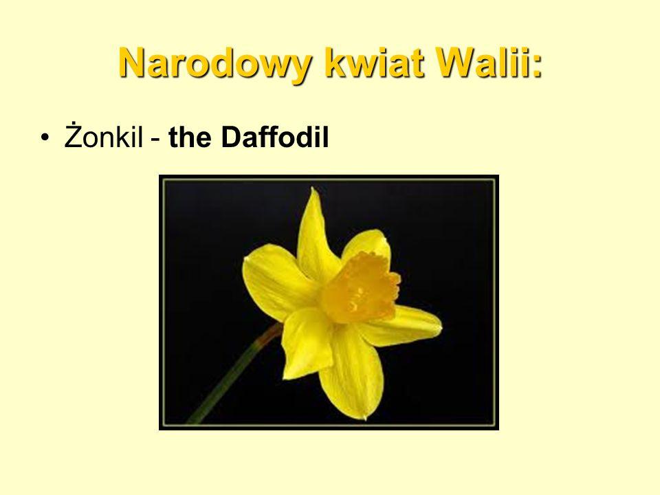 Narodowy kwiat Walii: Żonkil - the Daffodil