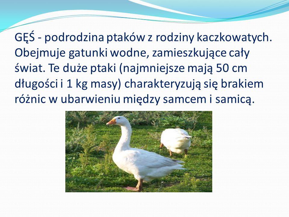 GĘŚ - podrodzina ptaków z rodziny kaczkowatych