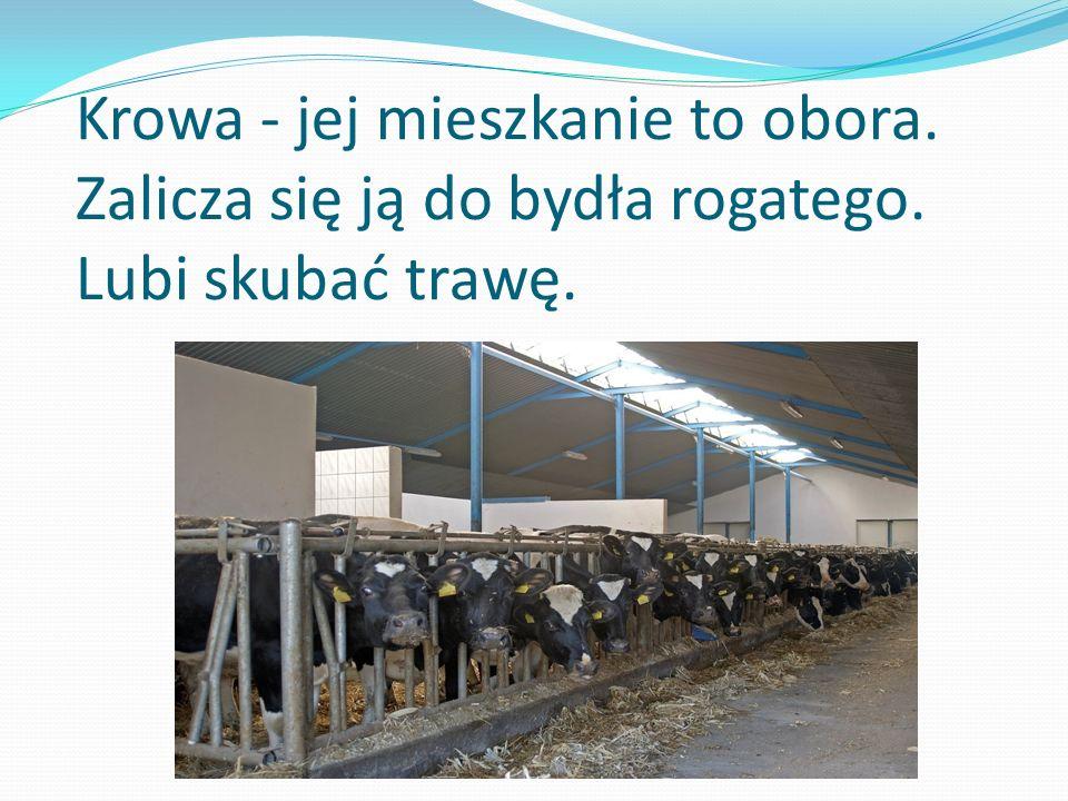 Krowa - jej mieszkanie to obora. Zalicza się ją do bydła rogatego