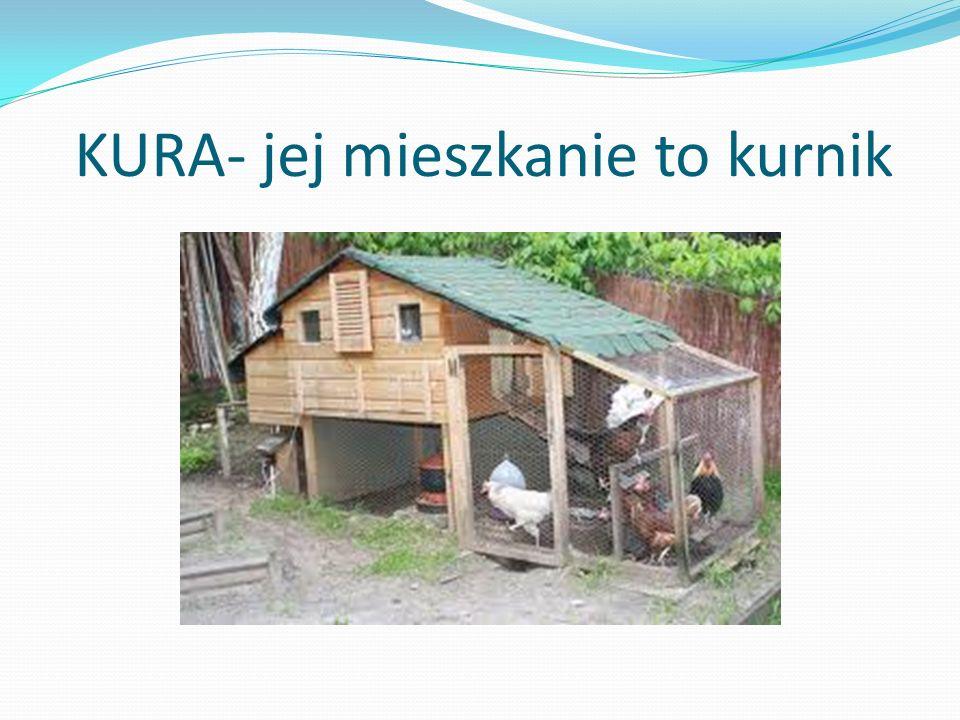 KURA- jej mieszkanie to kurnik