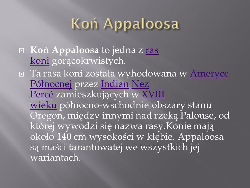 Koń Appaloosa Koń Appaloosa to jedna z ras koni gorącokrwistych.