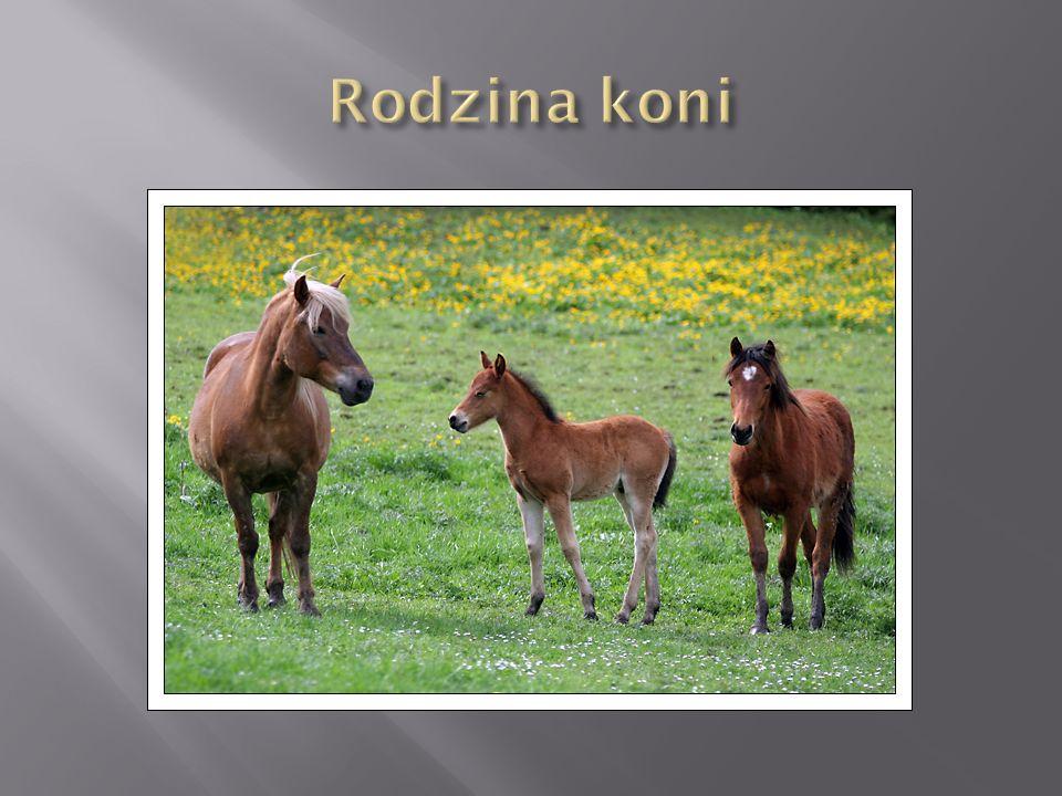Rodzina koni