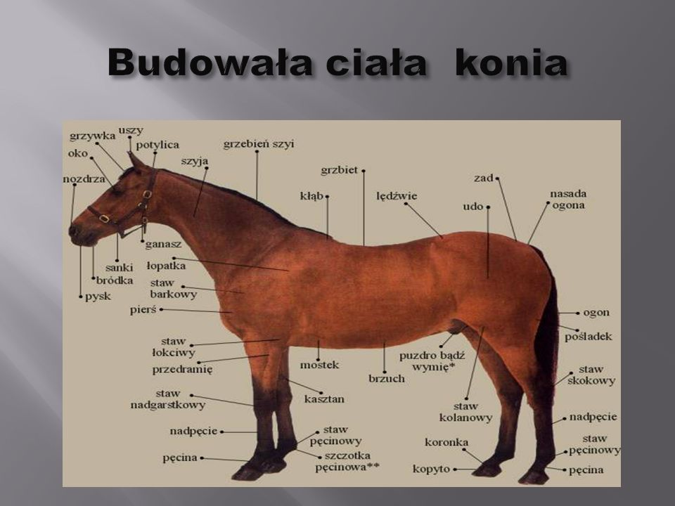 Budowała ciała konia
