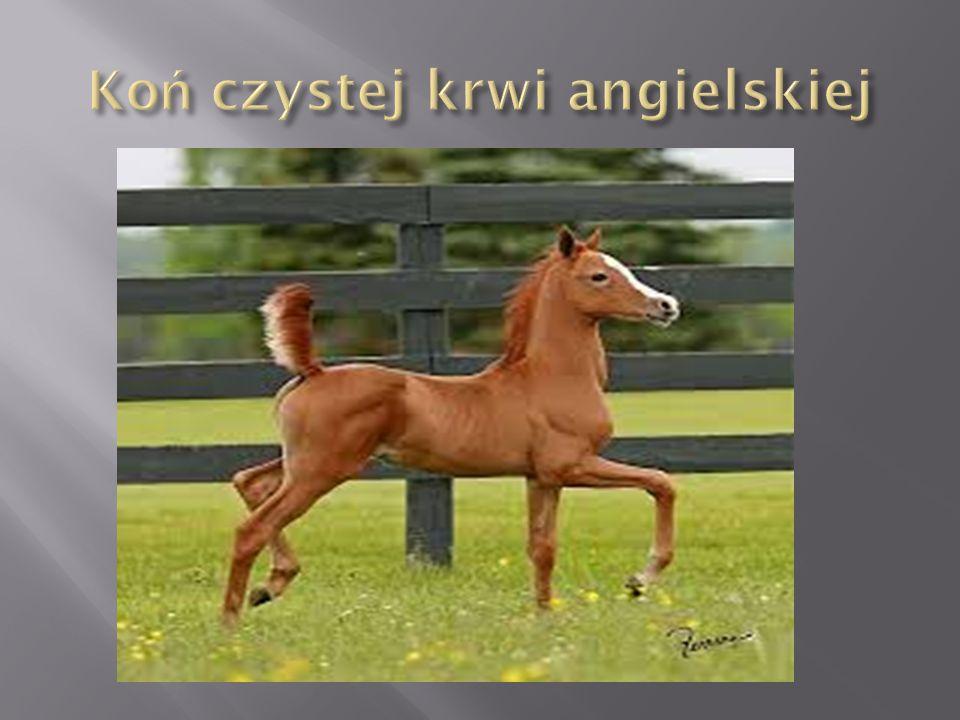Koń czystej krwi angielskiej