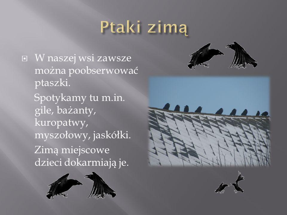 Ptaki zimą W naszej wsi zawsze można poobserwować ptaszki.