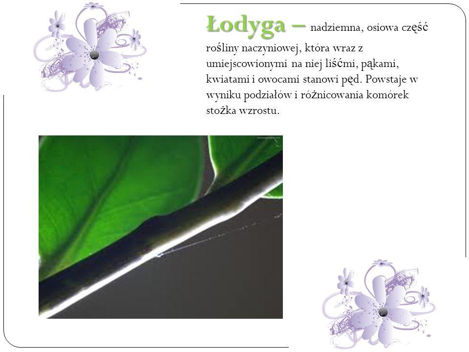 Łodyga – nadziemna, osiowa część rośliny naczyniowej, która wraz z umiejscowionymi na niej liśćmi, pąkami, kwiatami i owocami stanowi pęd.