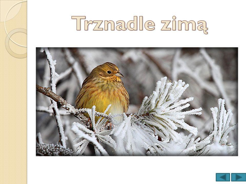Trznadle zimą