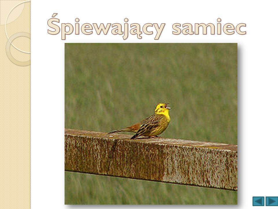 Śpiewający samiec