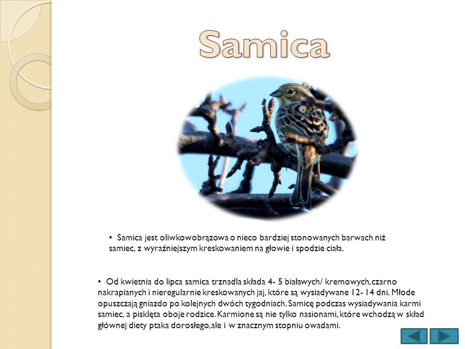 Samica Samica jest oliwkowobrązowa o nieco bardziej stonowanych barwach niż samiec, z wyraźniejszym kreskowaniem na głowie i spodzie ciała.