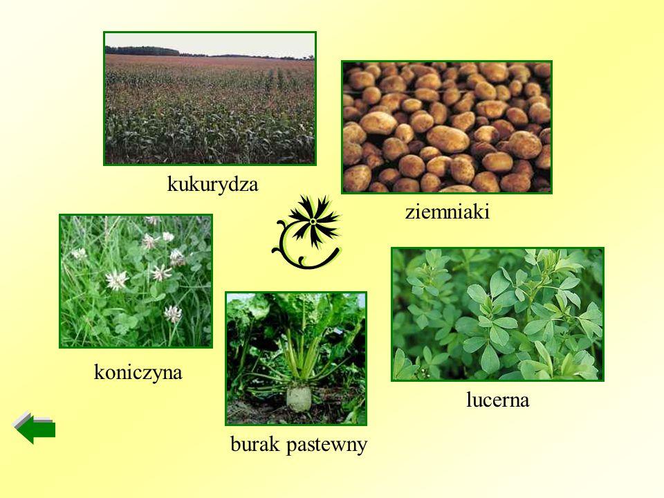 kukurydza ziemniaki koniczyna lucerna burak pastewny