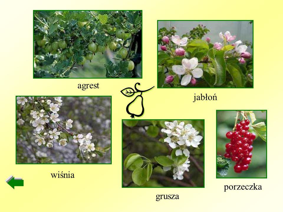 agrest jabłoń wiśnia porzeczka grusza