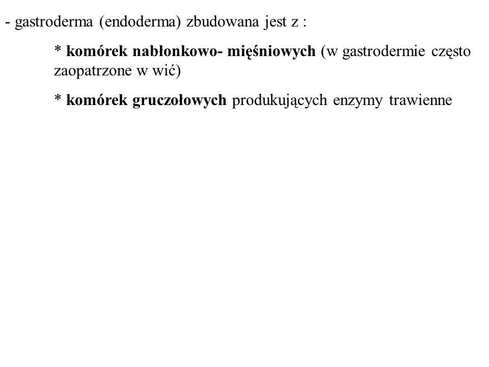 - gastroderma (endoderma) zbudowana jest z :