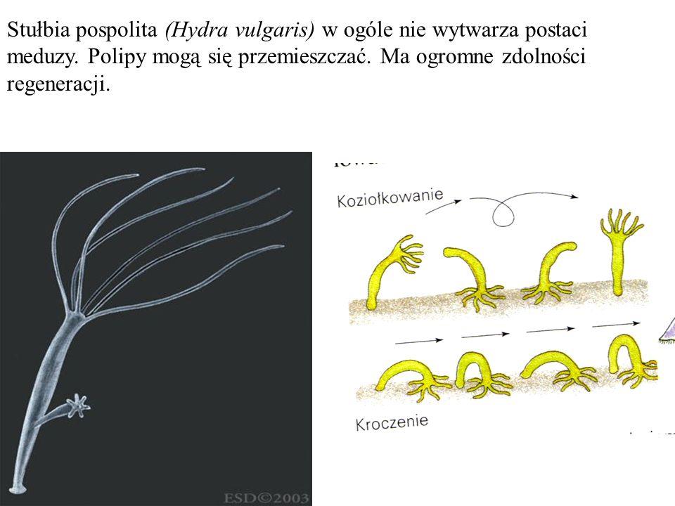 Stułbia pospolita (Hydra vulgaris) w ogóle nie wytwarza postaci meduzy