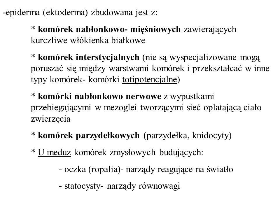 -epiderma (ektoderma) zbudowana jest z: