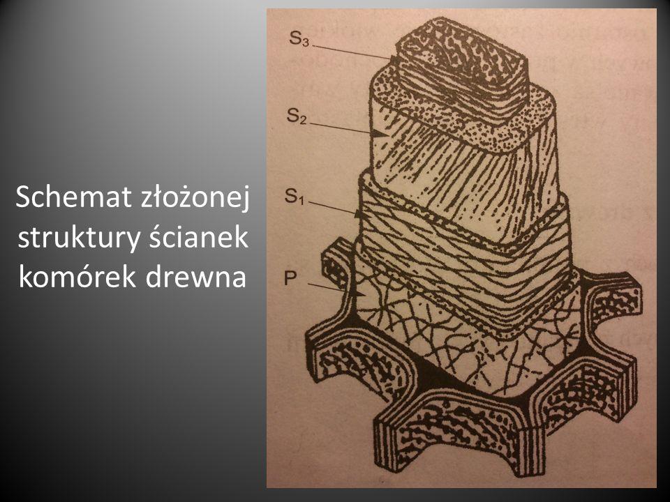Schemat złożonej struktury ścianek komórek drewna