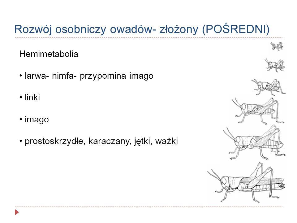Rozwój osobniczy owadów- złożony (POŚREDNI)