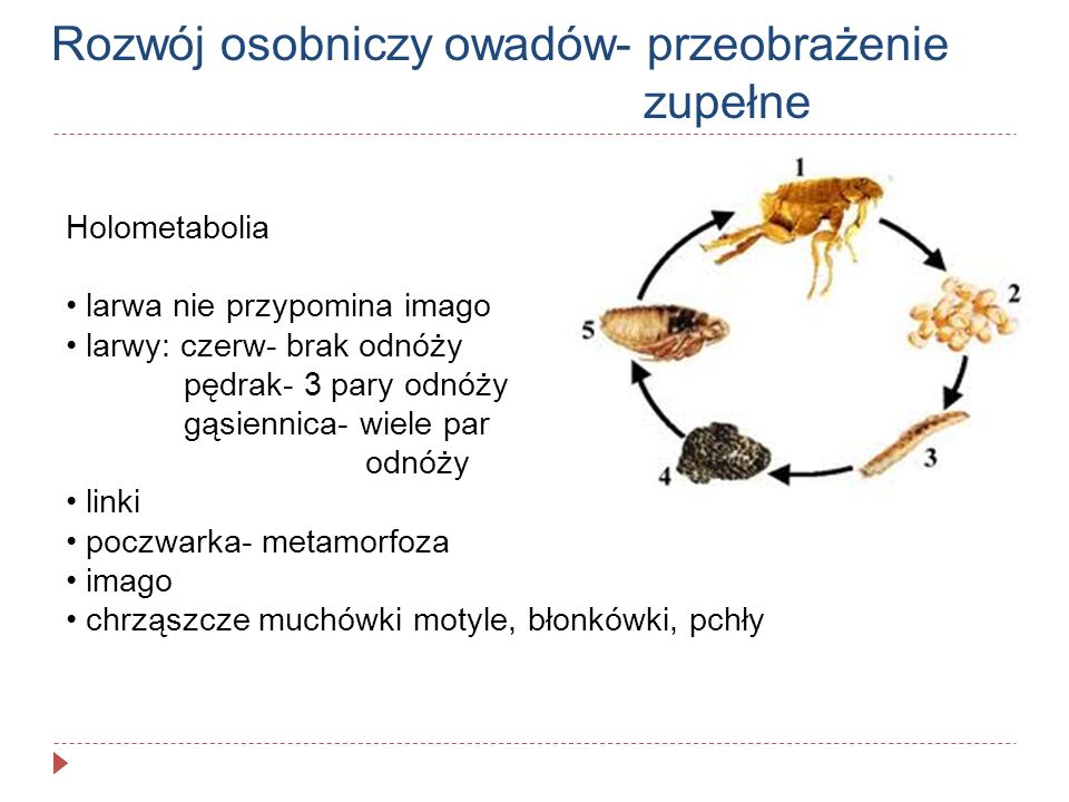 Rozwój osobniczy owadów- przeobrażenie zupełne