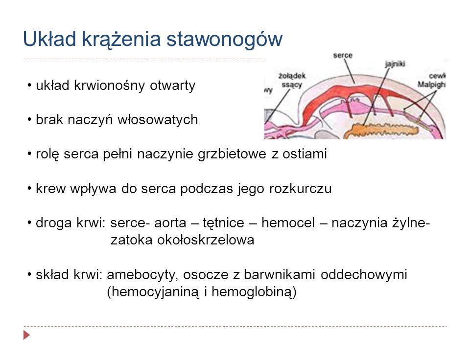 Układ krążenia stawonogów