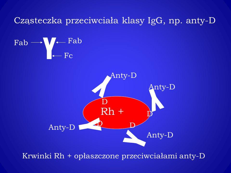 Y Y Y Y Y Rh + Cząsteczka przeciwciała klasy IgG, np. anty-D Fab Fab