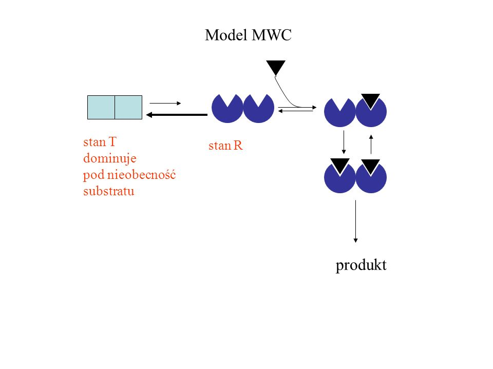 Model MWC stan T dominuje pod nieobecność substratu stan R produkt