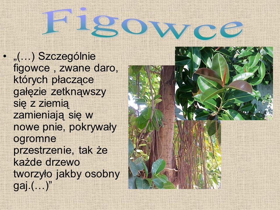 Figowce
