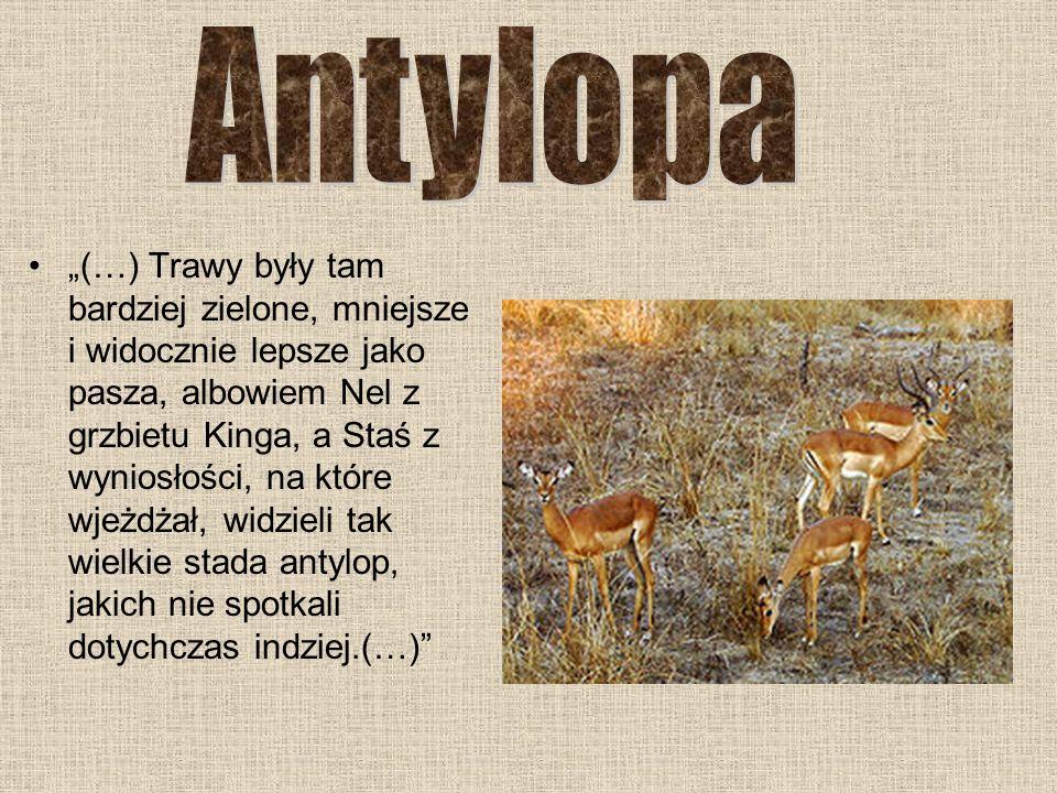 Antylopa
